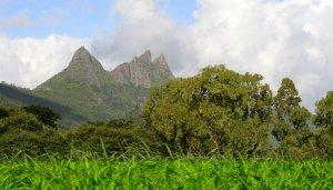 a sugar cane plantation in Mauritius